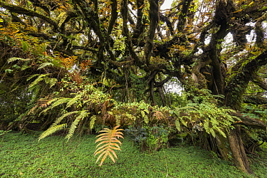 Ferns on branch, Harenna Forest, Bale Mountains National Park, Ethiopia