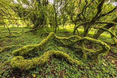 Moss covered trees, Harenna Forest, Bale Mountains National Park, Ethiopia