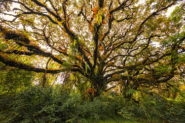 Tree with epiphytes, Harenna Forest, Bale Mountains National Park, Ethiopia