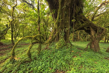 Moss covering aerial roots of tree, Harenna Forest, Bale Mountains National Park, Ethiopia