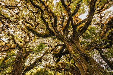 Epiphytes covering canopy, Harenna Forest, Bale Mountains National Park, Ethiopia