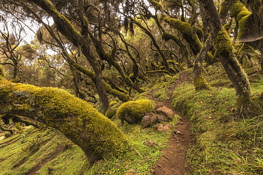 Heath (Erica sp) trees and path, Harenna Forest, Bale Mountains National Park, Ethiopia