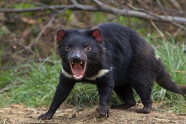 Tasmanian Devil (Sarcophilus harrisii) in defensive posture, Trowunna Wildlife Sanctuary, Tasmania, Australia