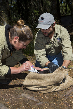 Tasmanian Devil (Sarcophilus harrisii) conservationist, Wade Anthony, and researcher marking devil with bleach for identification before they are returned to the wild, Devils at Cradle, Cradle Mountai...