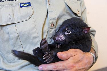 Tasmanian Devil (Sarcophilus harrisii) conservationist, Wade Anthony, holding four-month old baby devil, Devils at Cradle, Cradle Mountain-Lake Saint Clair National Park, Tasmania, Australia