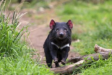 Tasmanian Devil (Sarcophilus harrisii), Bonorong Wildlife Sanctuary, Tasmania, Australia