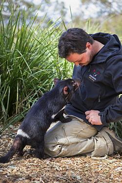 Tasmanian Devil (Sarcophilus harrisii) conservationist, Greg Irons, with orphaned devil, Bonorong Wildlife Sanctuary, Tasmania, Australia
