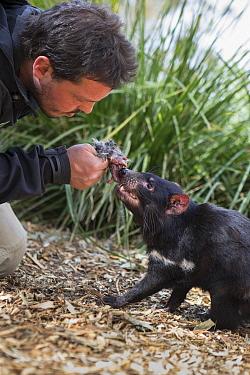 Tasmanian Devil (Sarcophilus harrisii) conservationist, Greg Irons, feeding orphaned devil, Bonorong Wildlife Sanctuary, Tasmania, Australia