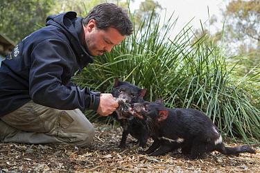 Tasmanian Devil (Sarcophilus harrisii) conservationist, Greg Irons, feeding orphaned devils, Bonorong Wildlife Sanctuary, Tasmania, Australia