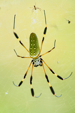Banana Spider (Nephila clavipes) male and much larger female, Taironaka Lodge, Colombia