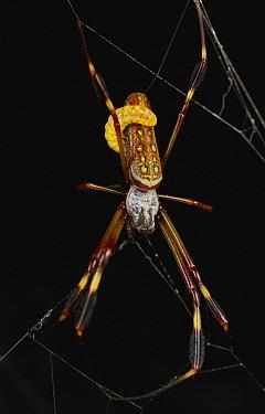 Banana Spider (Nephila clavipes) juvenile with parasitic larva, Taironaka Lodge, Colombia