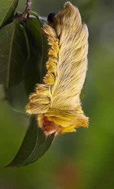 Flannel Moth (Megalopyge sp) caterpillar, Sani Lodge, Ecuador