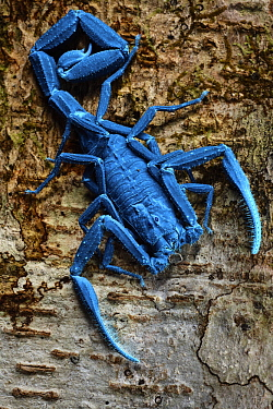 Thick-tailed Scorpion (Tityus sp), under UV light, Sani Lodge, Ecuador