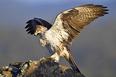 Bonelli's Eagle (Hieraaetus fasciatus) spreading wings, Extremadura, Spain