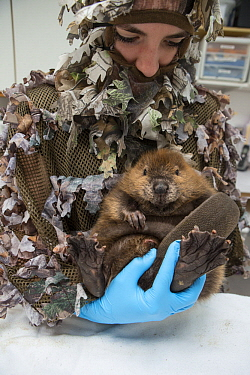 American Beaver (Castor canadensis) wildlife rehabilitator, Jessie Lazaris, holding one-month-old orphaned kit, Sarvey Wildlife Care Center, Arlington, Washington