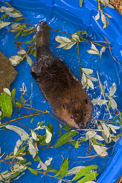American Beaver (Castor canadensis) one-month-old orphaned kit in pool, Sarvey Wildlife Care Center, Arlington, Washington