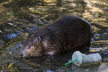 American Beaver (Castor canadensis) in urban creek with litter, Martinez, California