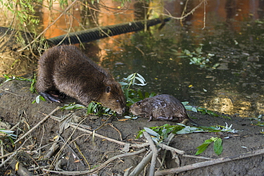 American Beaver (Castor canadensis) parent and eight-week-old kit on dam in urban creek, Martinez, California