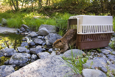 American Beaver (Castor canadensis) being released into the wild after being rescued and rehabilitated, Sonoma County Wildlife Rescue, Sonoma County, California