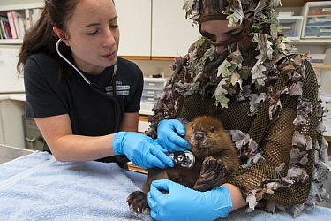 American Beaver (Castor canadensis) wildlife rehabilitators, Jessie Lazaris and Jessie Paolello, examine one-month-old orphaned kit, Sarvey Wildlife Care Center, Arlington, Washington