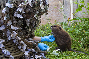 American Beaver (Castor canadensis) wildlife rehabilitator, Jessie Lazaris, with one-month-old orphaned kit, Sarvey Wildlife Care Center, Arlington, Washington