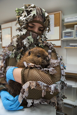 American Beaver (Castor canadensis) wildlife rehabilitator, Jessie Lazaris, holding one-month-old orphaned kit, Sarvey Wildlife Care Center, Arlington, Washington