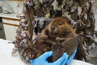 American Beaver (Castor canadensis) wildlife rehabilitator, Jessie Lazaris, weighing one-month-old orphaned kit, Sarvey Wildlife Care Center, Arlington, Washington