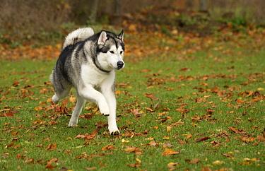 Alaskan Malamute (Canis familiaris) male running, North America