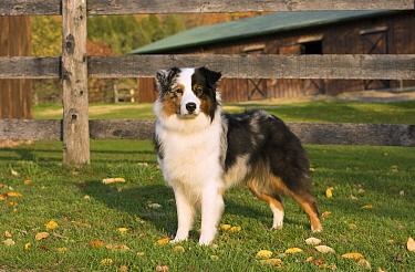 Australian Shepherd (Canis familiaris), North America