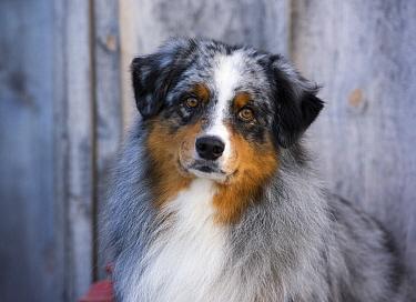 Australian Shepherd (Canis familiaris) male, North America