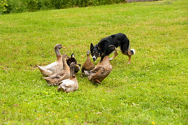 Border Collie (Canis familiaris) herding domestic duck flock, North America