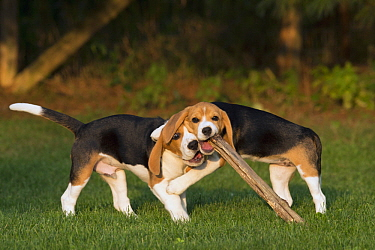 Beagle (Canis familiaris) puppies playing with stick, North America