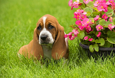 Basset Hound (Canis familiaris) puppy, North America