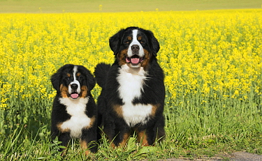 Bernese Mountain Dog (Canis familiaris) parent with puppy, North America