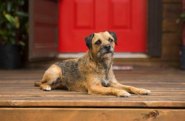 Border Terrier (Canis familiaris), North America