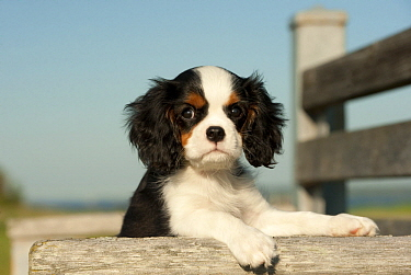 Cavalier King Charles Spaniel (Canis familiaris) puppy, North America