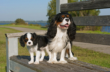 Cavalier King Charles Spaniel (Canis familiaris) parent with puppy, North America