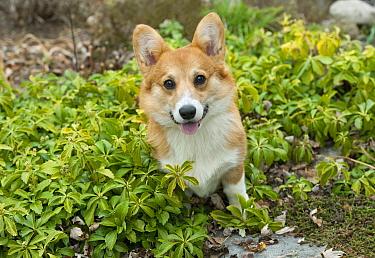 Pembroke Welsh Corgi (Canis familiaris) puppy, North America