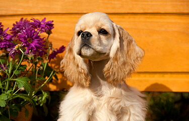 Cocker Spaniel (Canis familiaris) puppy, North America