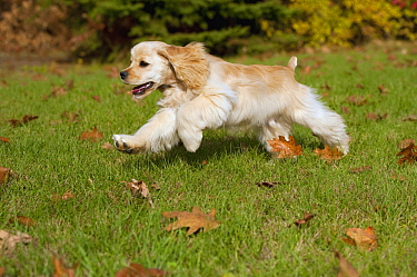Cocker Spaniel (Canis familiaris) puppy running, North America