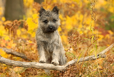 Cairn Terrier (Canis familiaris) puppy, North America