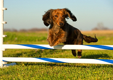 Miniature Long Haired Dachshund (Canis familiaris) jumping, North America