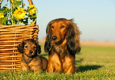 Miniature Long Haired Dachshund (Canis familiaris) parent with puppy, North America
