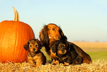 Miniature Long Haired Dachshund (Canis familiaris) parent with puppies, North America
