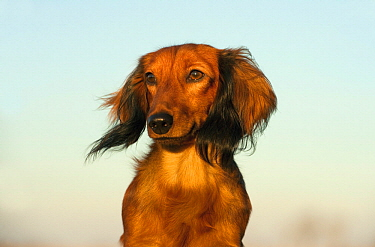 Miniature Long Haired Dachshund (Canis familiaris), North America