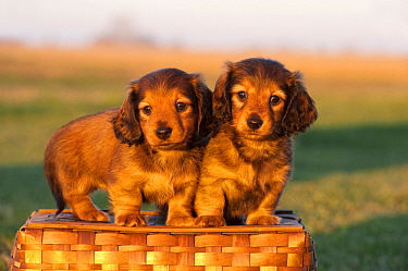 Miniature Long Haired Dachshund (Canis familiaris) puppies, North America