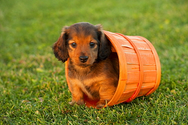 Miniature Long Haired Dachshund (Canis familiaris) puppy, North America