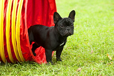 French Bulldog (Canis familiaris) puppy in agility tunnel, North America