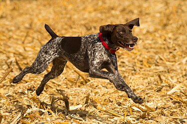 German Shorthaired Pointer (Canis familiaris) running, North America