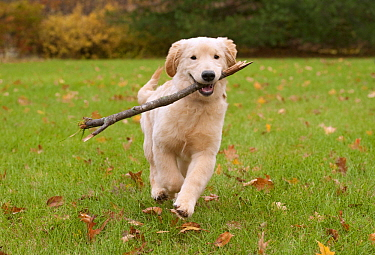Golden Retriever (Canis familiaris) female puppy playing with stick, North America